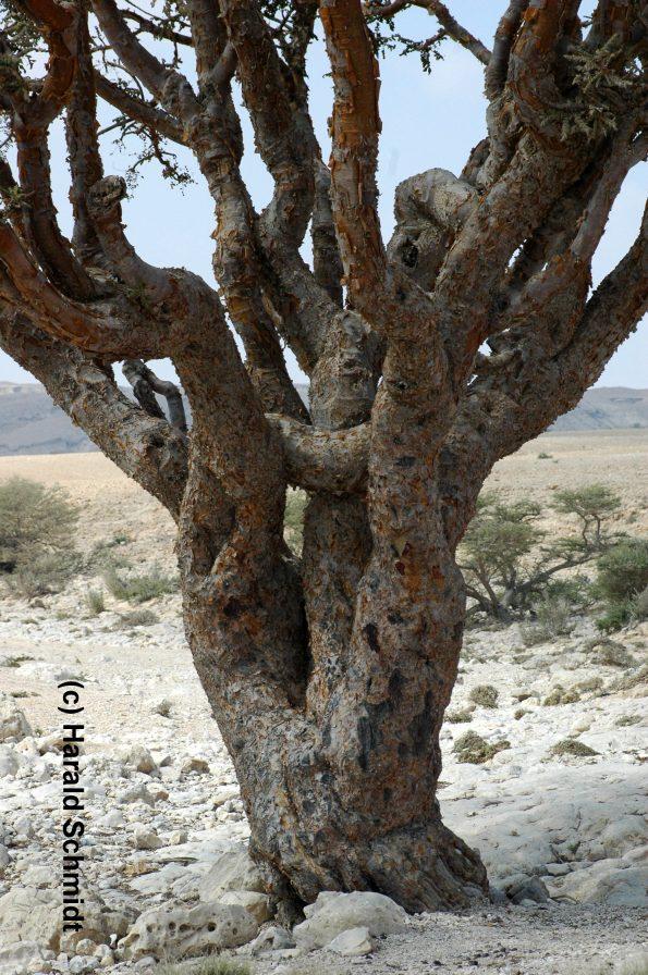 Alter Weihrauchharzbaum